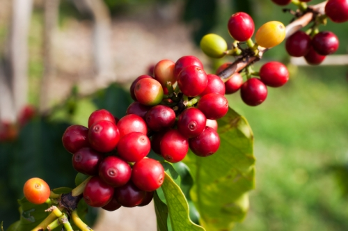 Coffee cherry.jpg