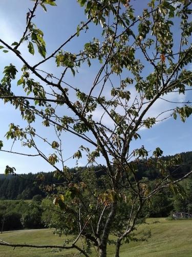 cherry tree 1.jpg
