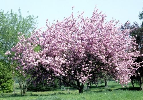 blossoming cherry tree.jpg
